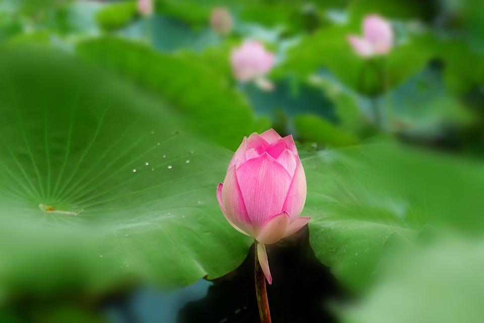 lotus-1127010_960_720.jpg